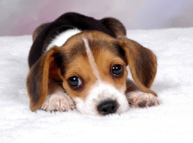 Parvoviroza Canina